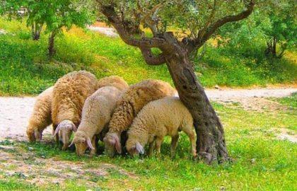 """מדוע מקפידים לומר """"קרבנות"""" גם לפני תפילת מנחה?"""